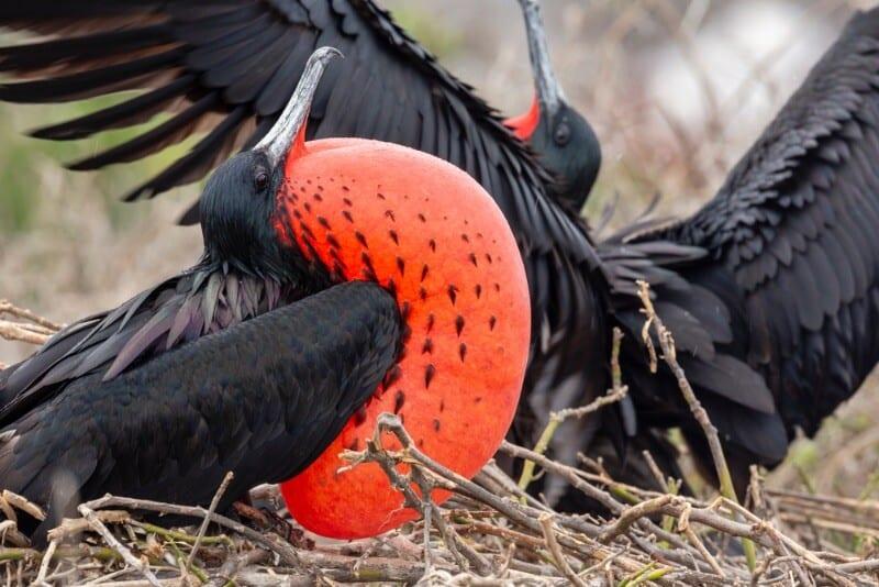 Viaggio alle isole Galapagos - cosa vedere, cosa fare, la guida 2021 - Fregate