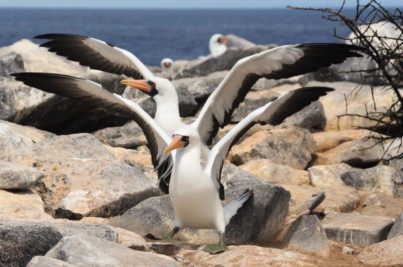 Viaggio alle isole Galapagos - cosa vedere, cosa fare, la guida 2021 Sule piedineri