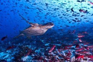 Viaggio alle isole Galapagos - cosa vedere, cosa fare, la guida 2021 - Tartaruga marina