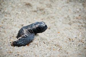 Costa Rica, itinerario di 2 settimane: cosa vedere, cosa fare- tartaruga